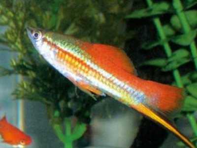 什么鱼最耐养 最好养的观赏鱼排行榜